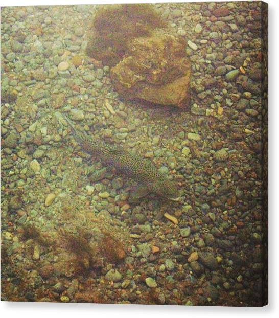 Trout Canvas Print - #iceland #thingvillernationalpark by Christos Mouzeviris
