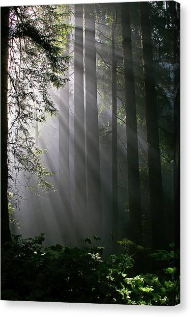 Redwood Forest Canvas Print - In The California Redwood Forest. by Ulrich Burkhalter