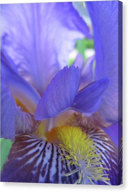 Iris Canvas Print by Michele Caporaso