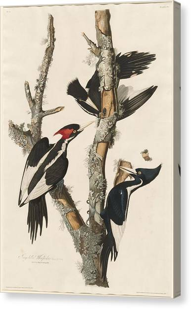 Woodpeckers Canvas Print - Ivory-billed Woodpecker by Dreyer Wildlife Print Collections