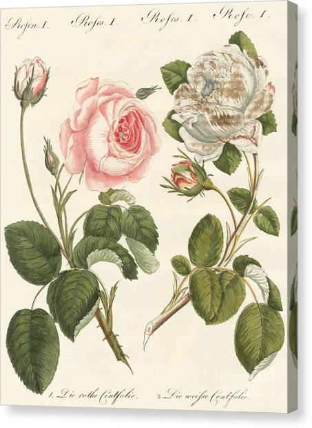 Cabbage Canvas Print - Kinds Of Roses by German School
