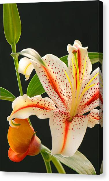 Lily Canvas Print by Dennis Hammer