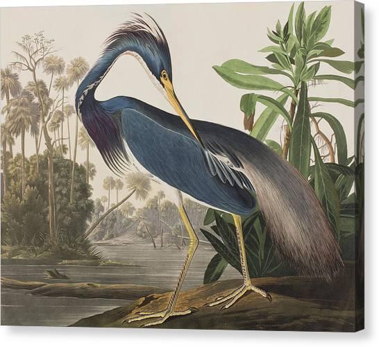 Herons Canvas Print - Louisiana Heron  by John James Audubon