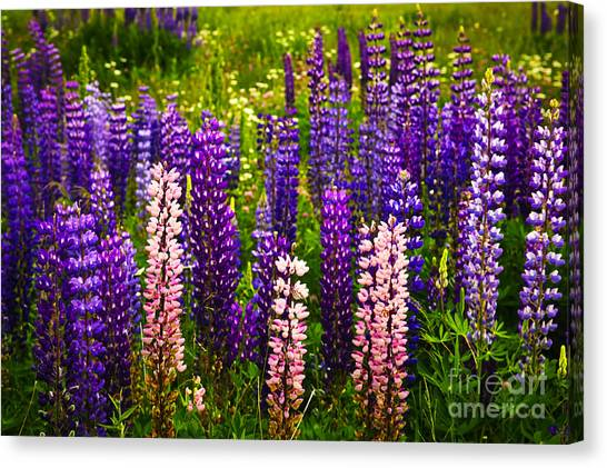 Clover Canvas Print - Lupin Flowers In Newfoundland by Elena Elisseeva