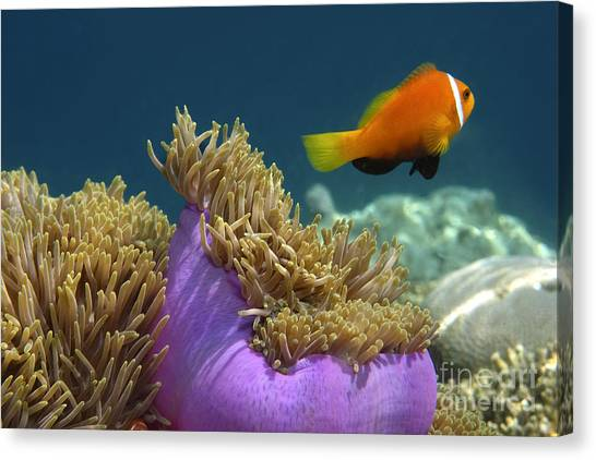 Canvas Print featuring the photograph Maledives Clown Fish by Juergen Held