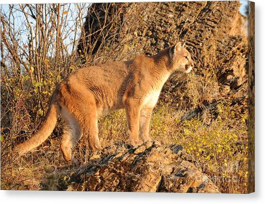 Mountain Lion Canvas Print by Dennis Hammer