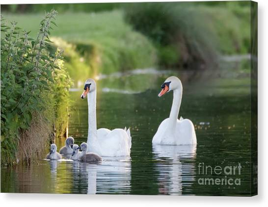 Mute Swan - Cygnus Olor - Adult And Cute Fluffy Baby Cygnets, Swim Canvas Print by Paul Farnfield