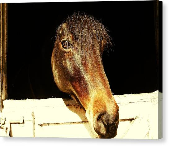 Noble Stallion Canvas Print by JAMART Photography