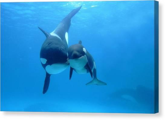 Orcas Canvas Print - Orca by Mariel Mcmeeking