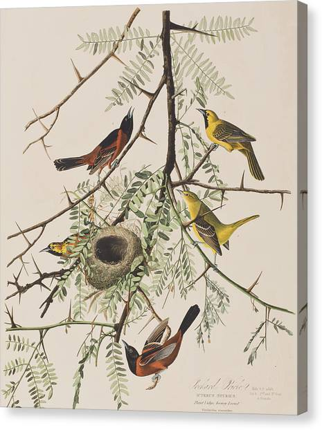 Orioles Canvas Print - Orchard Oriole by John James Audubon
