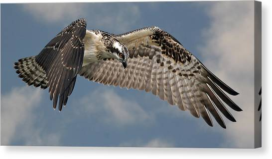 Osprey Flight Canvas Print by Larry Linton