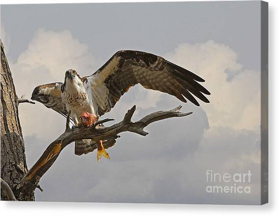Osprey With Fish Canvas Print by Dennis Hammer