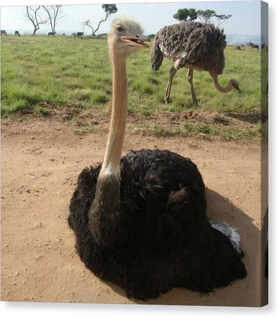 Ostriches Canvas Print - #2 #ostrich #very #close #park  #africa by Marc Schuppisser