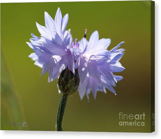 Canvas Print - Pale Blue Bachelor Button From The Double Ball Mix by J McCombie