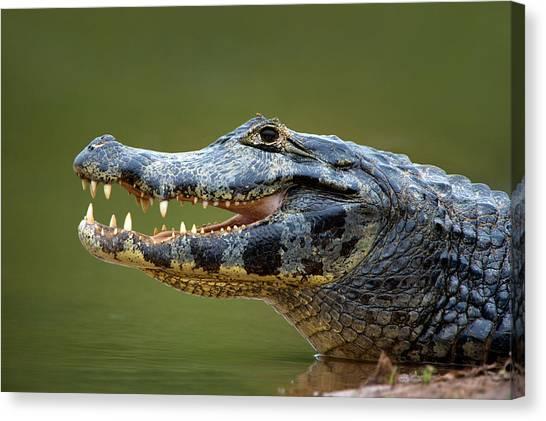 The Pantanal Canvas Print - Pantanal Caiman, Pantanal Wetlands by Panoramic Images