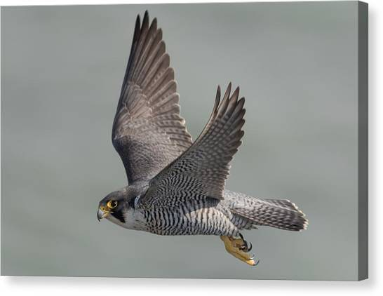 Falcons Canvas Print - Peregrine Falcon by Ian Hufton
