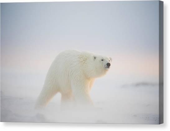 Bears Canvas Print - Polar Bear  Ursus Maritimus , Young by Steven Kazlowski