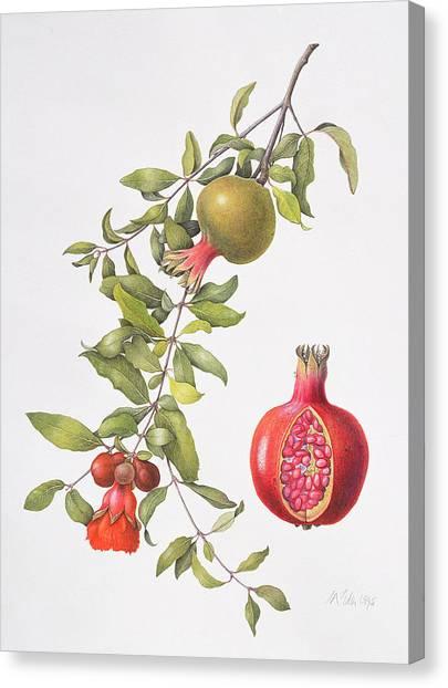 Pom-pom Canvas Print - Pomegranate by Margaret Ann Eden