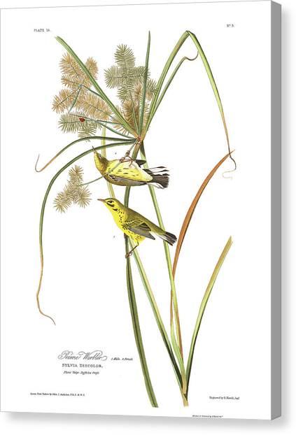 Warblers Canvas Print - Prairie Warbler by John James Audubon