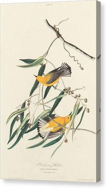 Warblers Canvas Print - Prothonotary Warbler by Dreyer Wildlife Print Collections