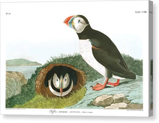 Puffins Canvas Print - Puffin by John James Audubon