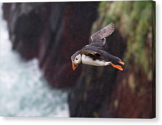 Puffins Canvas Print - Puffin by Super Lovely