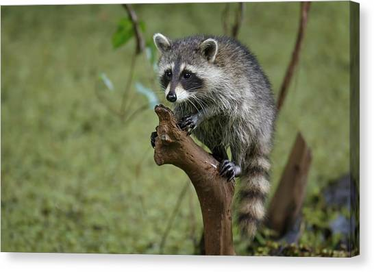 Raccoons Canvas Print - Raccoon by Super Lovely