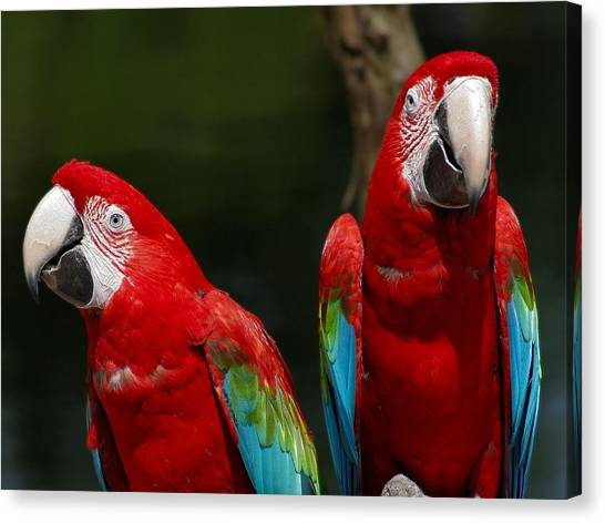 Parrot Canvas Print - Red-and-green Macaw by Alice Kent