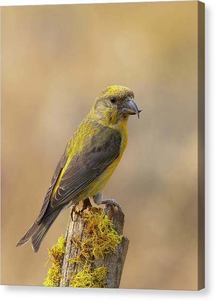 Crossbills Canvas Print - Red Crossbill by Doug Herr
