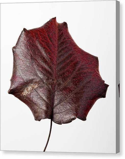 Red Leaf 4 Canvas Print by Robert Ullmann