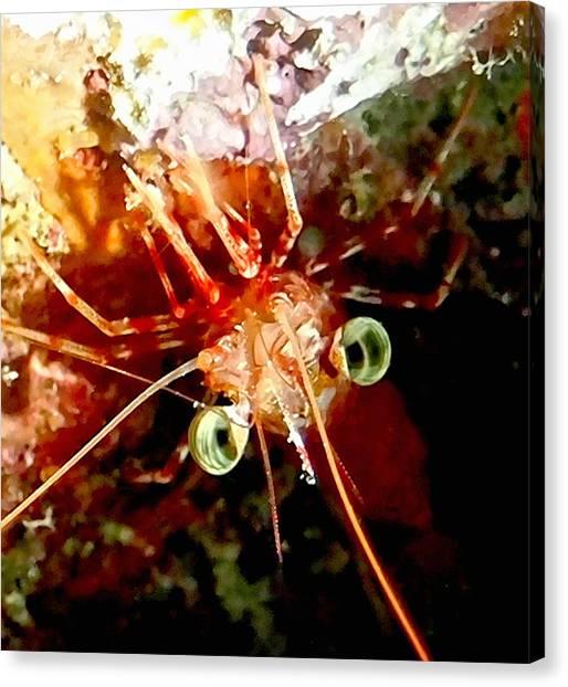 Red Night Shrimp Canvas Print