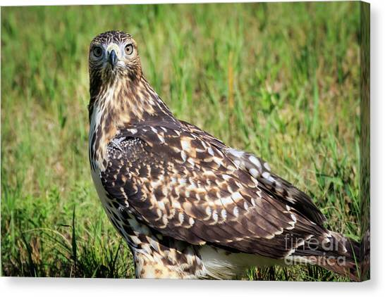 Red-tail Portrait Canvas Print