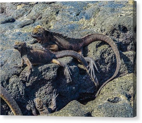 Santiago Marine Iguana Canvas Print by Harry Strharsky