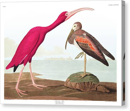 Ibis Canvas Print - Scarlet Ibis by John James Audubon