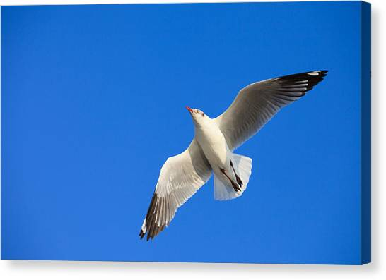 Ibis Canvas Print - Seagull by Super Lovely