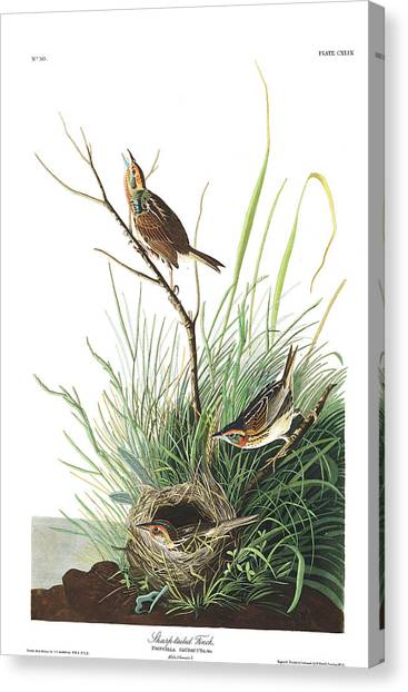 Finches Canvas Print - Sharp-tailed Finch by John James Audubon