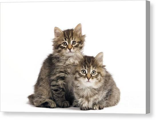 Siberian Cats Canvas Print - Siberian Kittens by Jean-Michel Labat