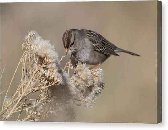 Sparrow Canvas Print