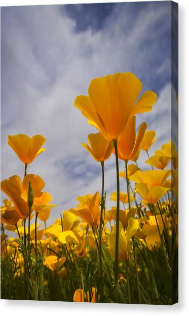 Springtime Poppies  Canvas Print