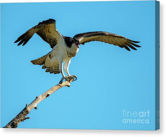 Osprey Canvas Print - Stay Away by Mike Dawson