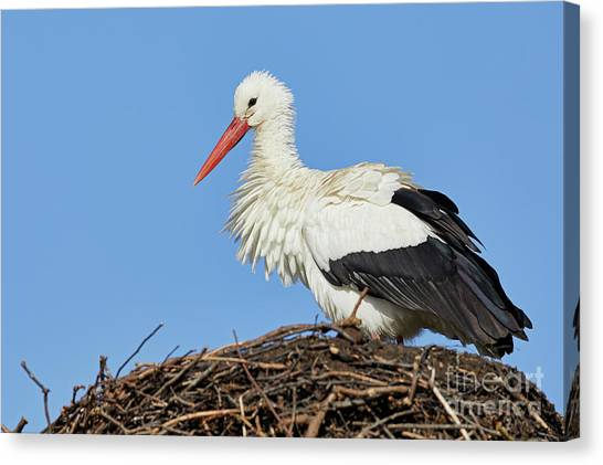 Canvas Print featuring the photograph Stork On A Nest by Nick Biemans