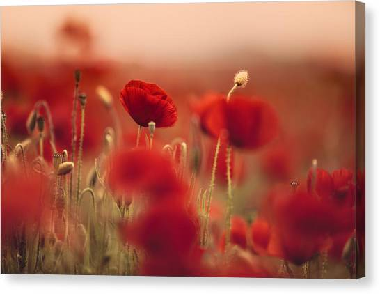 Plant Canvas Print - Summer Poppy Meadow by Nailia Schwarz