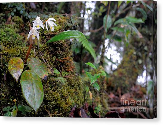 Mossy Forest Canvas Print - Terrestrial Orchid In Flower by Fletcher & Baylis