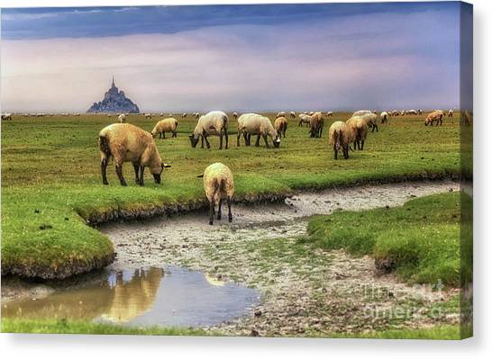 The Sheep Of Mont Saint Michel Canvas Print