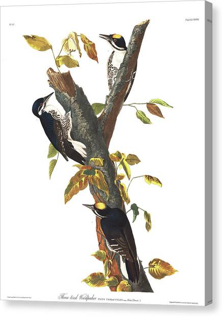 Toes Canvas Print - Three-toed Woodpecker by John James Audubon