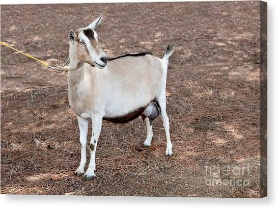 Uc Davis Canvas Print - Transgenic Goat by Inga Spence