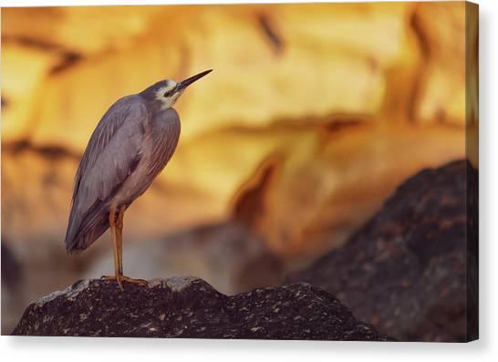 White-faced Heron At The Beach Canvas Print