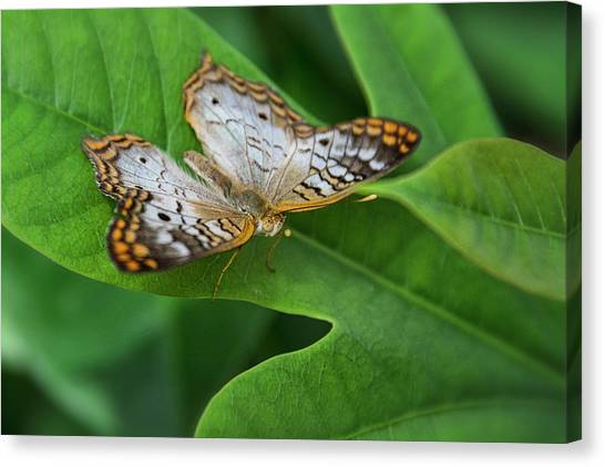 Anartia Jatrophae Canvas Print - White Peacock Butterfly  by Saija Lehtonen