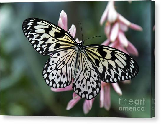 White Tree Nymph Butterfly Canvas Print