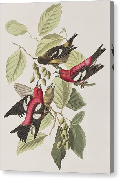 Crossbills Canvas Print - White-winged Crossbill by John James Audubon